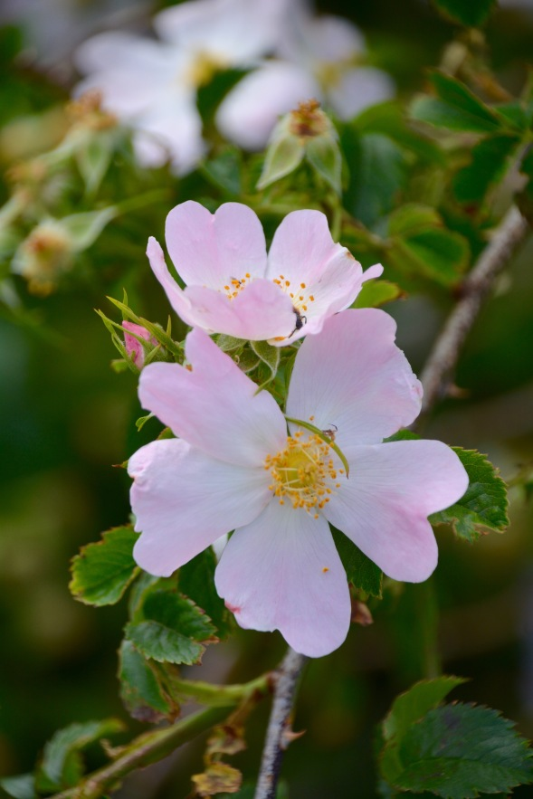 Dog-roses in the mountains, too hot lower down for them to survive....