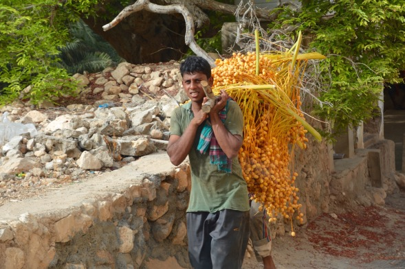 Carrying the freshly cut date branches....