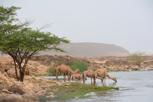 Camels drinking in the Khor.....