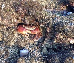 Crab looking defensive....