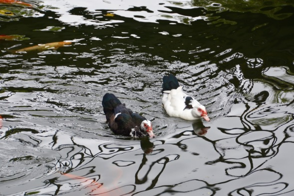 Watch the ducks in the lake....