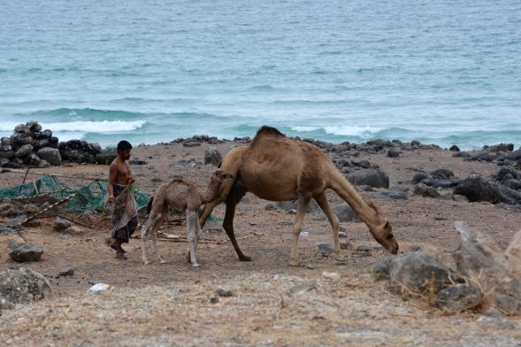 Camels grazing by the sea...
