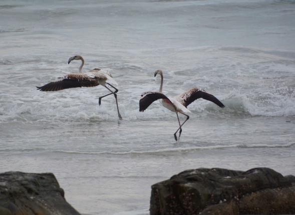 Flamingos dancing in the waves....