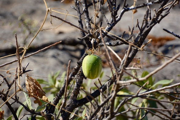 This is called the wild desert gourd or colocynth (Citrullus colocynthis)...