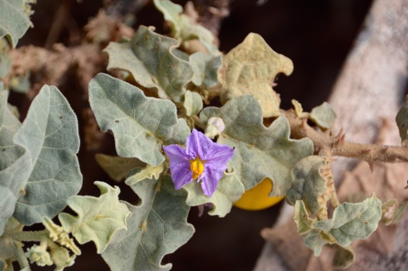 Solanum incanum, also known as Sodom's Apple...related to deadly nightshade...