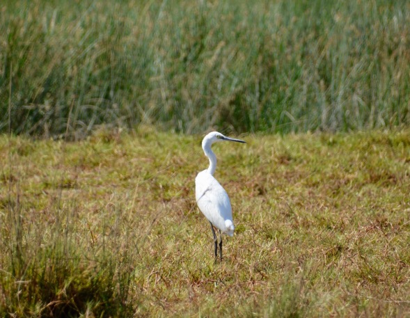 An Egret too...