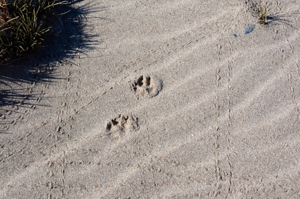 Hmm, who do those big paw prints belong to?