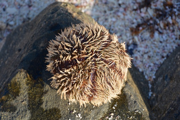 Chunky sea urchin...