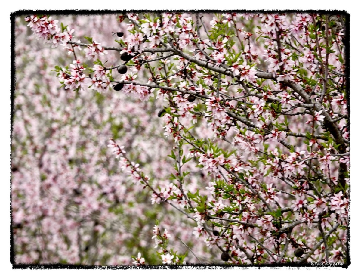 Almond blossom on a grey day....