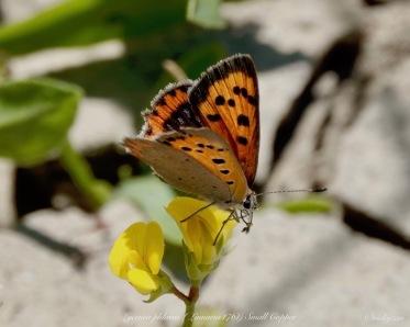 Lycaena phlaeas, Small copper..