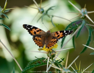 Vanessa Cardui, Painted lady...