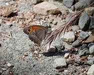Manioila cypricola, ( Cyprus Meadow Brown)