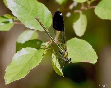 Calopteryx Splendens Banded demoiselle Esouza (1)
