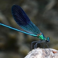 Cyprus Dragonfly Diaries-1-Calopteryx splendens