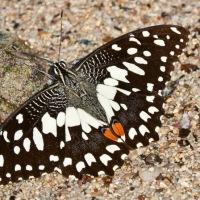 UAE Butterfly diary 1- Papilio demoleu
