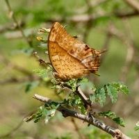 Oman Butterfly diary 3-Charaxes varanes bertrami (Riley, 1931), Pearl Charaxes...