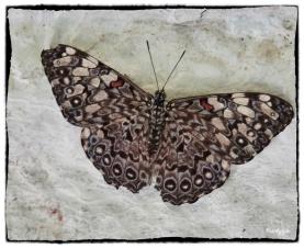 Hamadryas feronia ( Linnaeus 1758)