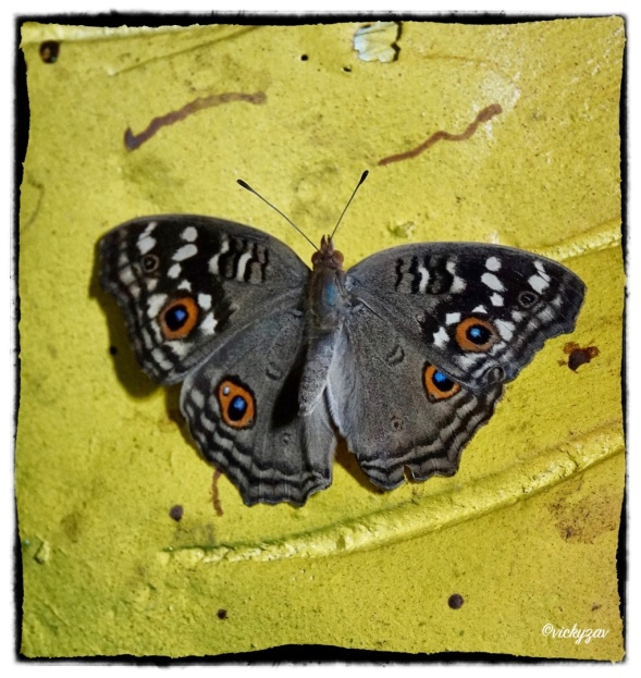 Junonia lemonias ( Linnaeus 1758)
