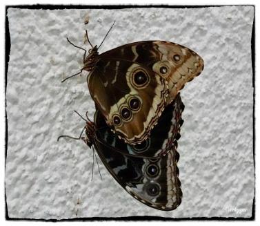 Morpho achilles (Linnaeus 1758)