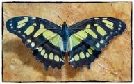 Papilio demoleus ( Linnaeus 1758)
