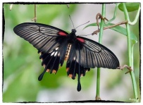 Papilio lowi (H. Druce 1873)