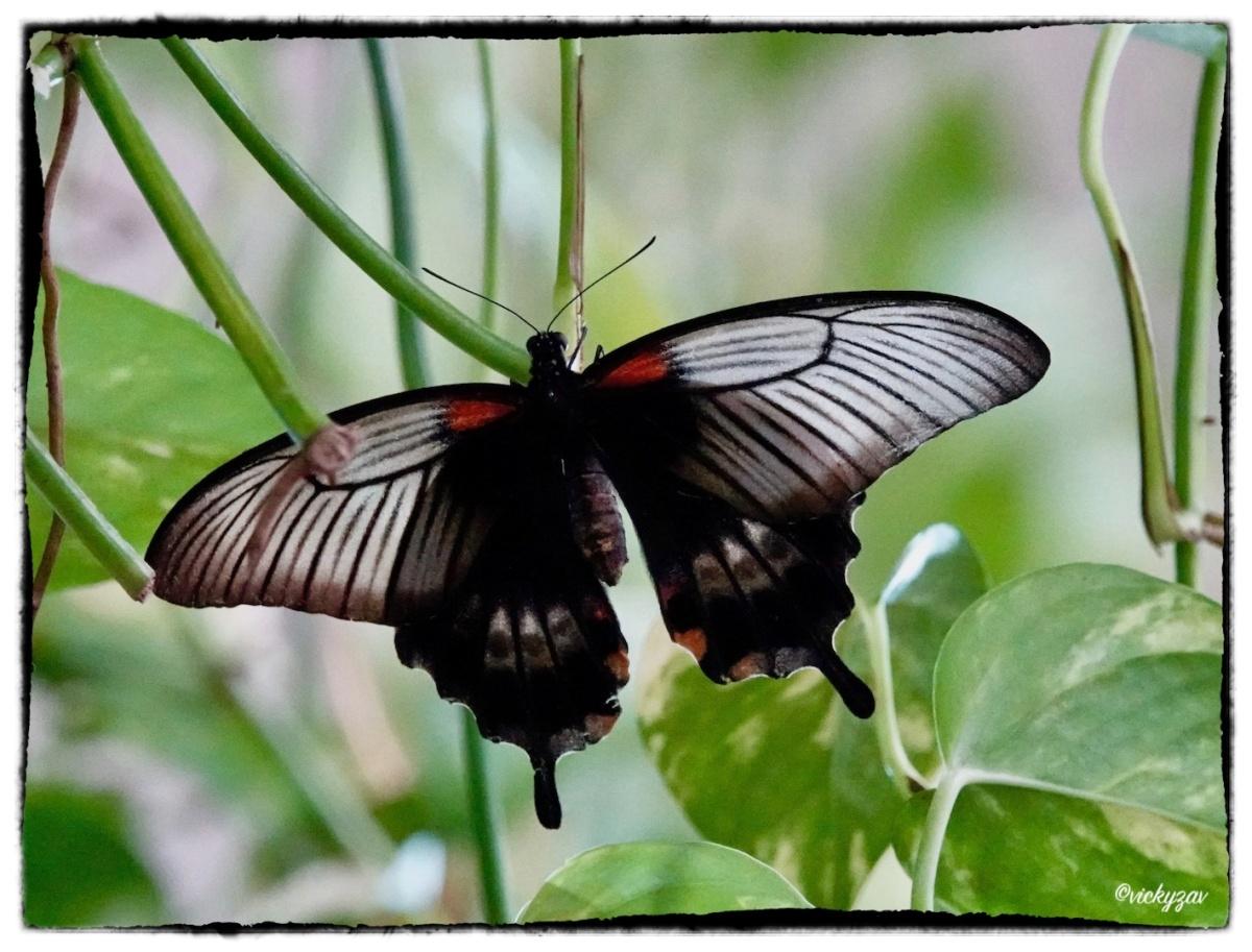 Papilio memnon (Linnaeus 1758)