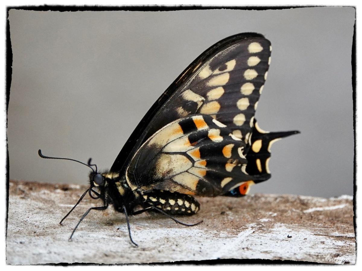 Papilio polyxenes (Fabricius, 1775)