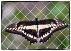 Papilio thoas( Linnaeus 1771)