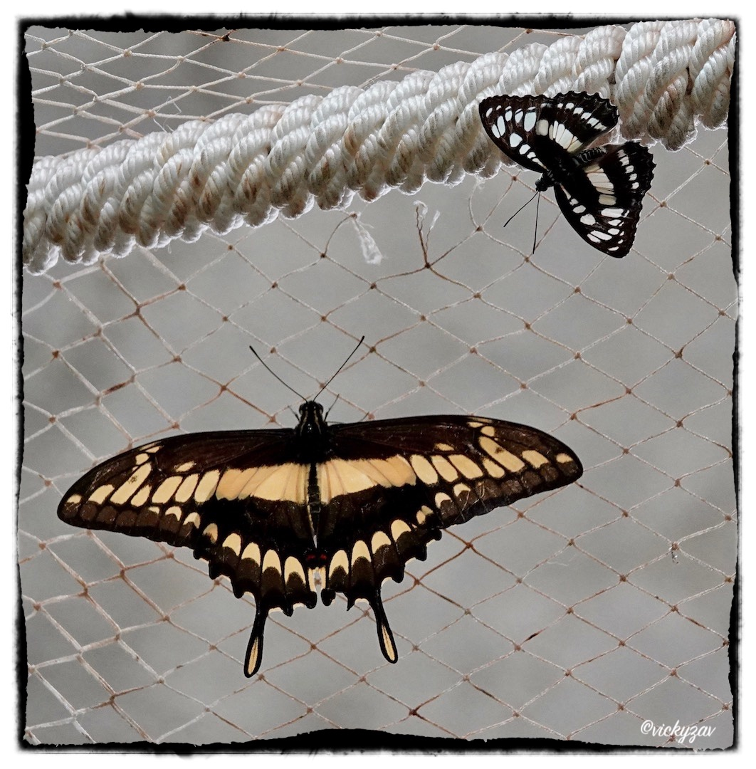 Papilio thoas (Linnaeus 1771)