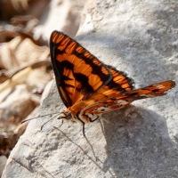Oman Butterfly diary 2-Byblia ilithyia, Joker...
