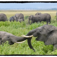 Kenya diary: Elephants at Amboseli...