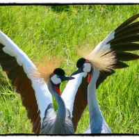Kenya diary... Grey Crowned Cranes in a mating dance...