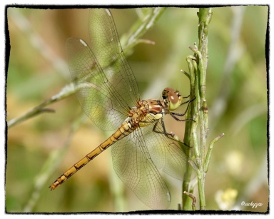 Common Darter, Sympetrum striatum ( Charpentier,1840)
