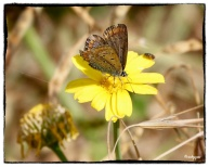 Common Blue, Polyommatus icarus (Rottenburg,1775)
