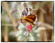 Lulworth Skipper ,Thymelicus action (Rottenburg, 1775)