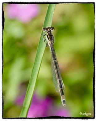 Common Bluetail, Ischnura elegant ssp.ebneri (Schmidt, 1938)