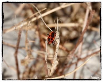 Plant bug, Calocoris nemoralis (Fabricius, 1787)