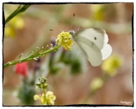 Small White, Pieris rapper (Linnaeus ,1758)