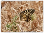 Papilio machaon, Swallowtail.