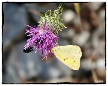 Colias crocea, Clouded Yellow...
