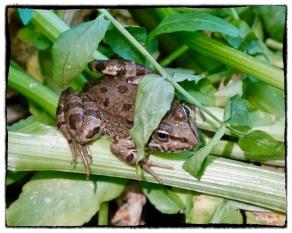 Pelophylas cypress, Cyprus Water Frog