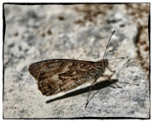 Hipparchia cypriensis, Cyprus Grayling