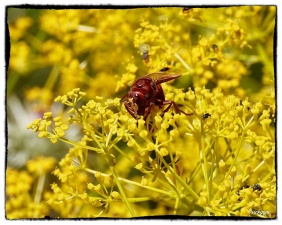 Ridolfia segetum with a massive Hornet