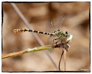 Onychogomphus forcipatus, Small Pincertail