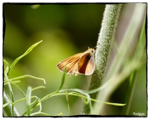 Thymelius action, Lulworth Skipper