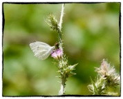 Pieris rapae , small WhitePi