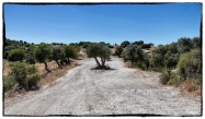 Olive trees parting the road...