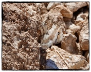 A special butterfly, I've only seen this twice...Chazara briseis, The Hermit...