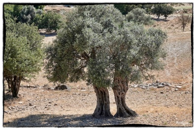 Ancient but elegant olive trees...