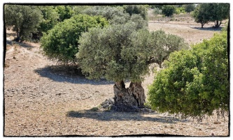 Check out this double Olive tree trunk...